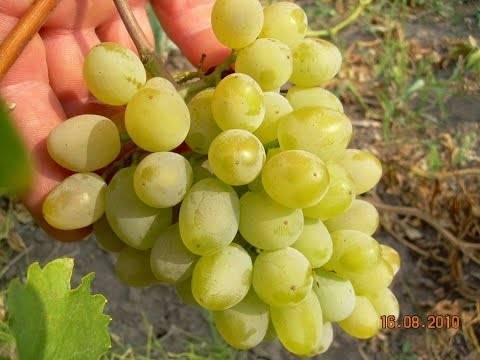 Описание и характеристики плодового винограда сорта Гарольд и история создания