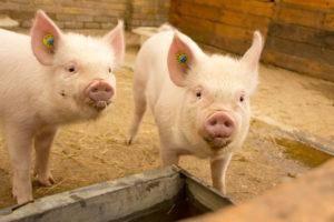 Кормовые дрожжи: применение в животноводстве