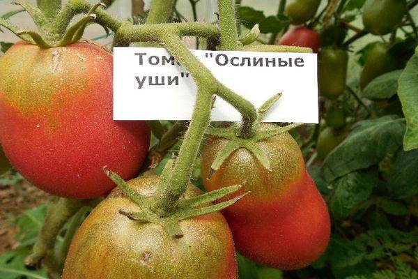 Томат сорта (гибрид) «марфа f1»: отзывы, описание, характеристика, урожайность, фото и видео