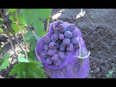 Виноград граф монте кристо: описание сорта, фото и отзывы садоводов