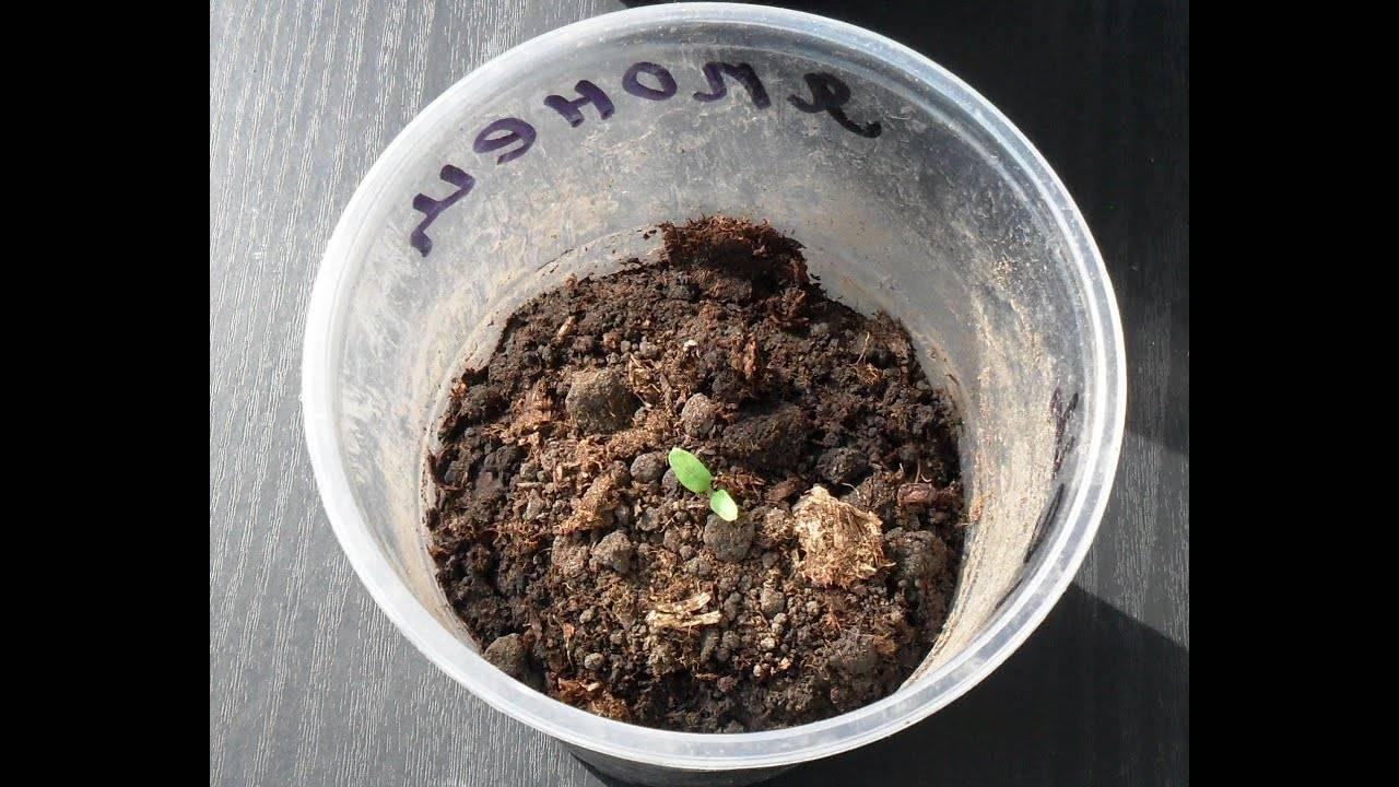 Как можно быстро прорастить семена огурцов перед посадкой в домашних условиях