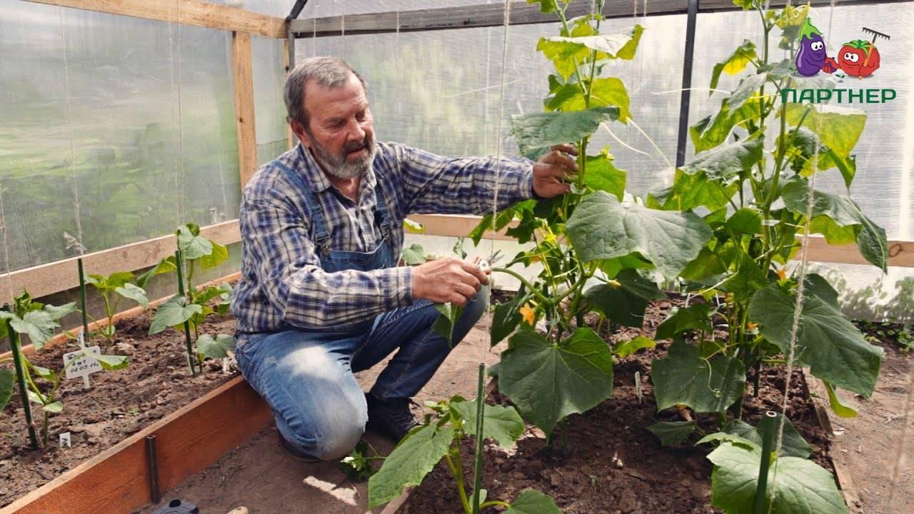Как правильно прищипывать огурцы в открытом грунте: технология формирования куста