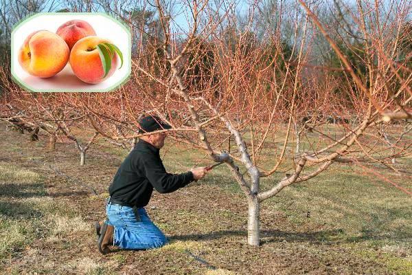 Урожайность персика —зеркало обрезки