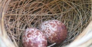 Сколько яиц несет перепелка в день и от чего зависит яйценоскость