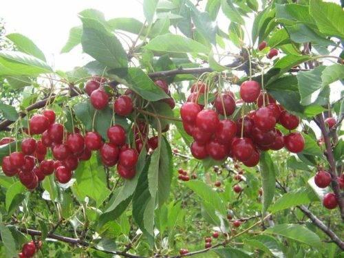 Описание вишни сорта Огневушка и ее характеристики, достоинства и недостатки