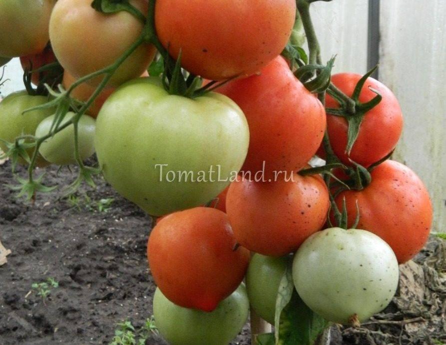 Описание сорта томатов алтайский розовый урожайность