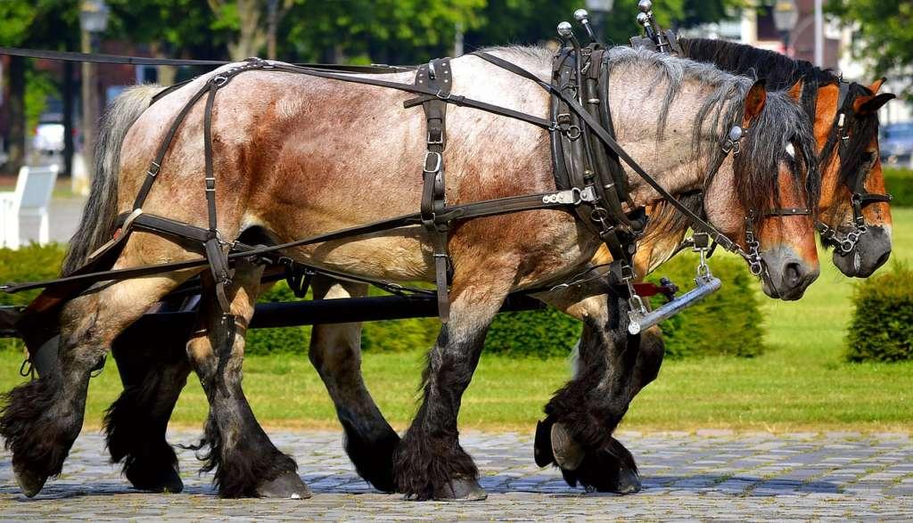 Описание и характеристики лошадей породы шайр, условия содержания и разведение