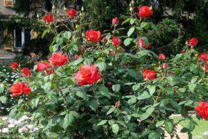 Роза полиантовая выращивание из семян в домашних условиях посадка и уход в открытом грунте сорта