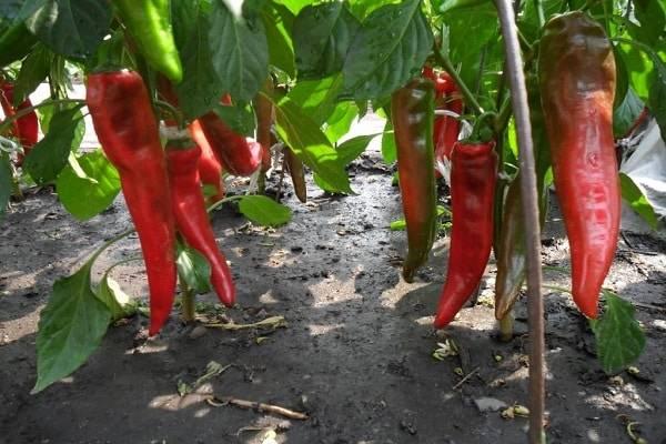 Болгарский перец - выращивание и уход в открытом грунте