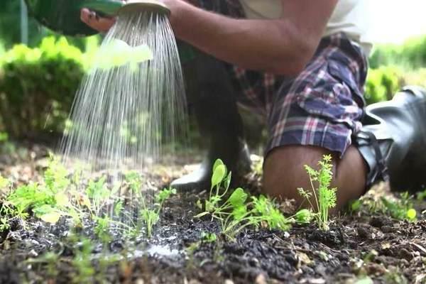 Насколько важен правильный полив моркови и как часто надо это делать? практические рекомендации огородникам