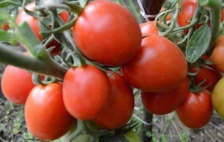 Сорт томата «о-ля-ля-ля»: описание, характеристика, посев на рассаду, подкормка, урожайность, фото, видео и самые распространенные болезни томатов