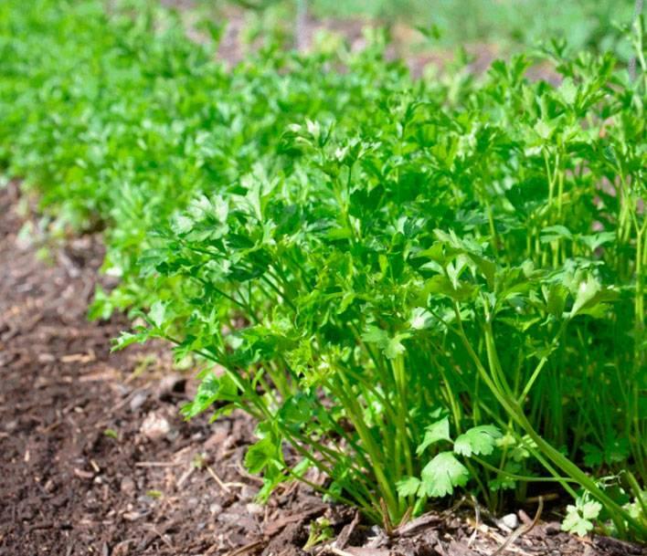 Красивая и полезная петрушка «богатырь»: описание сорта, выращивание и уход, урожайность и борьба с болезнями