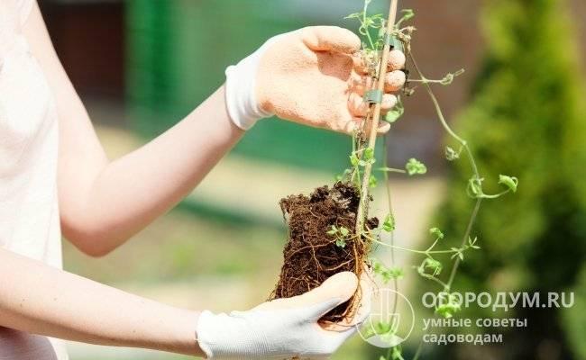 Клематис руж кардинал: характеристики, посадка и уход. махровые клематисы: сорта для выращивания на дачном участке