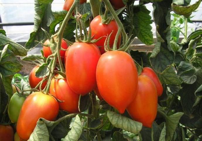 Сорт томата медовый