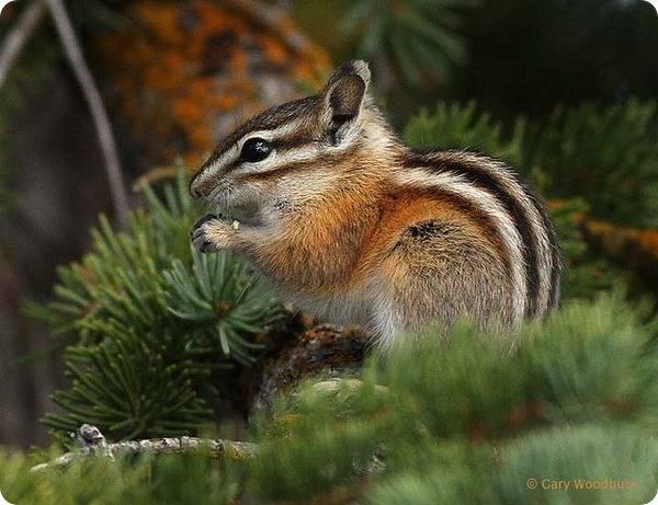 Черты приспособленности к среде обитания снежного барана