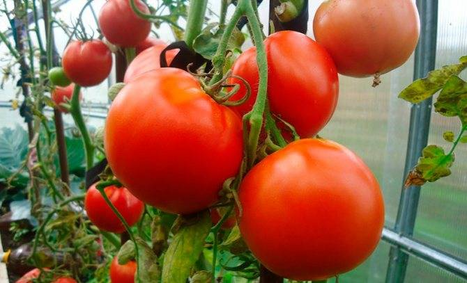 Описание сорта томата очарование, его характеристика и выращивание