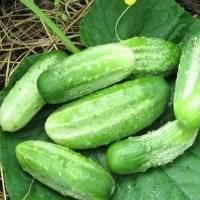 Простой в уходе ранний огурец «темп» для салатов и консервации
