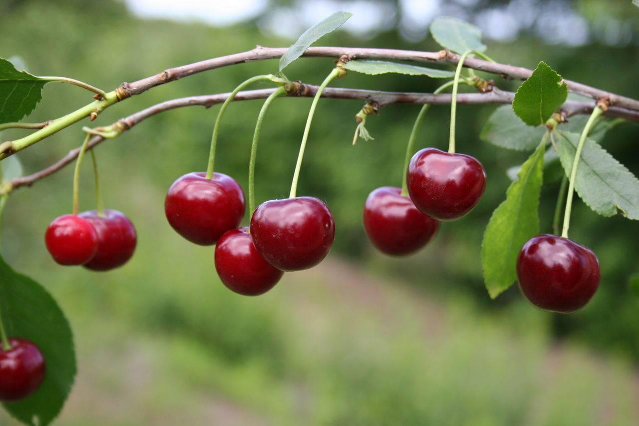 Описание сорта вишен Любская, характеристики урожайности и плодоношения