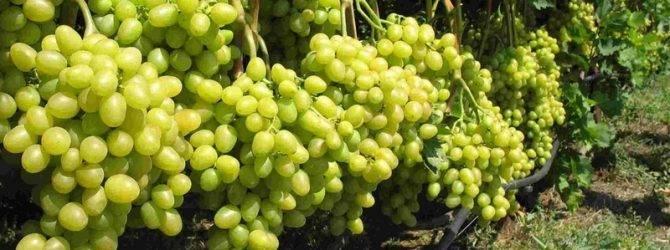 Меню для винограда: чем и как кормить лозу, чтобы она кормила нас