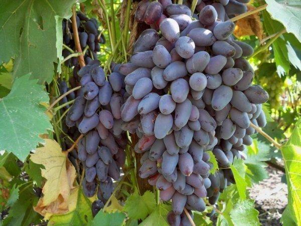 Описание и характеристика винограда сорта памяти негруля, посадка и уход