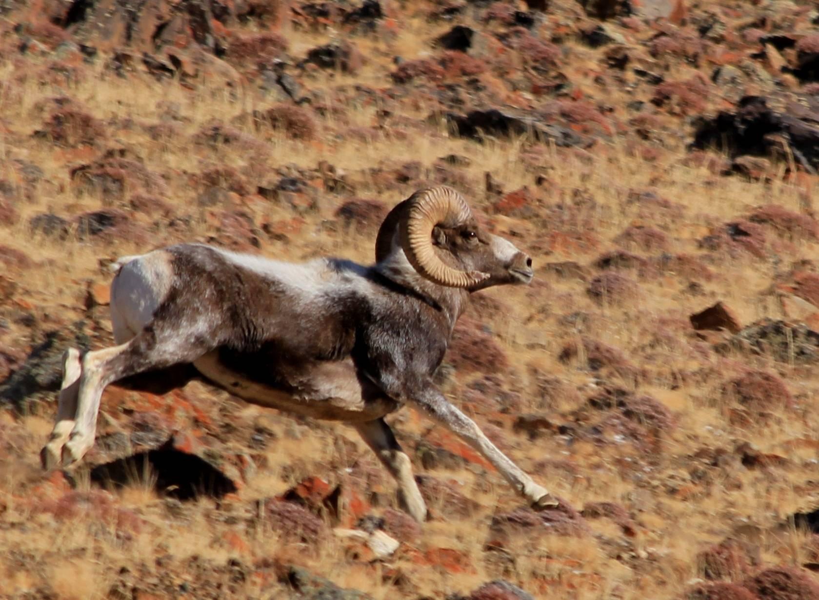 Овца животное. образ жизни и среда обитания овцы