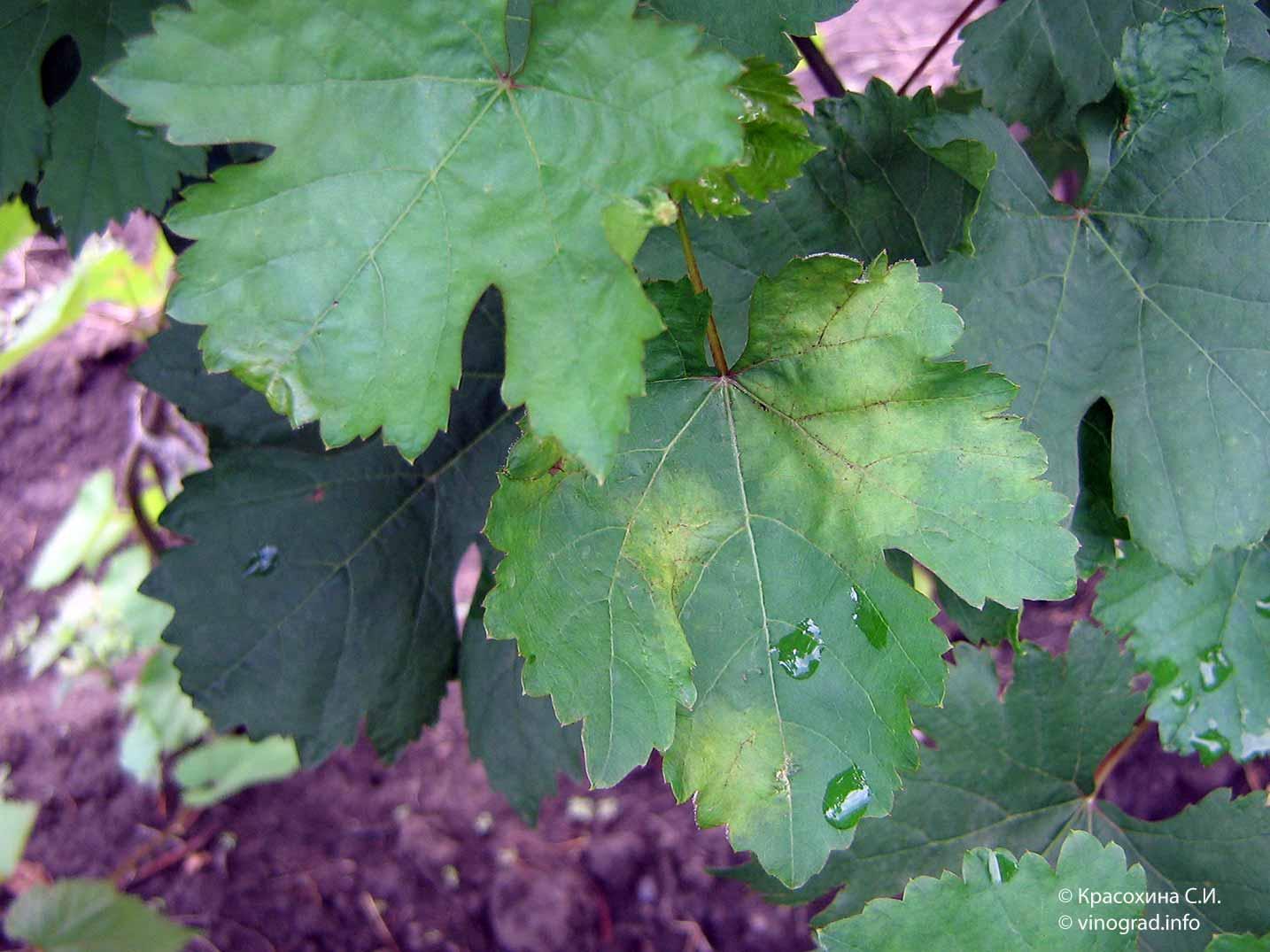 Что делать с виноградом в июле?