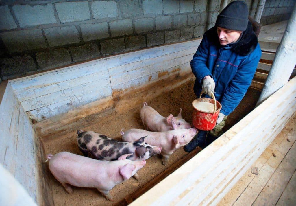 Как правильно откармливать свиней на мясо?