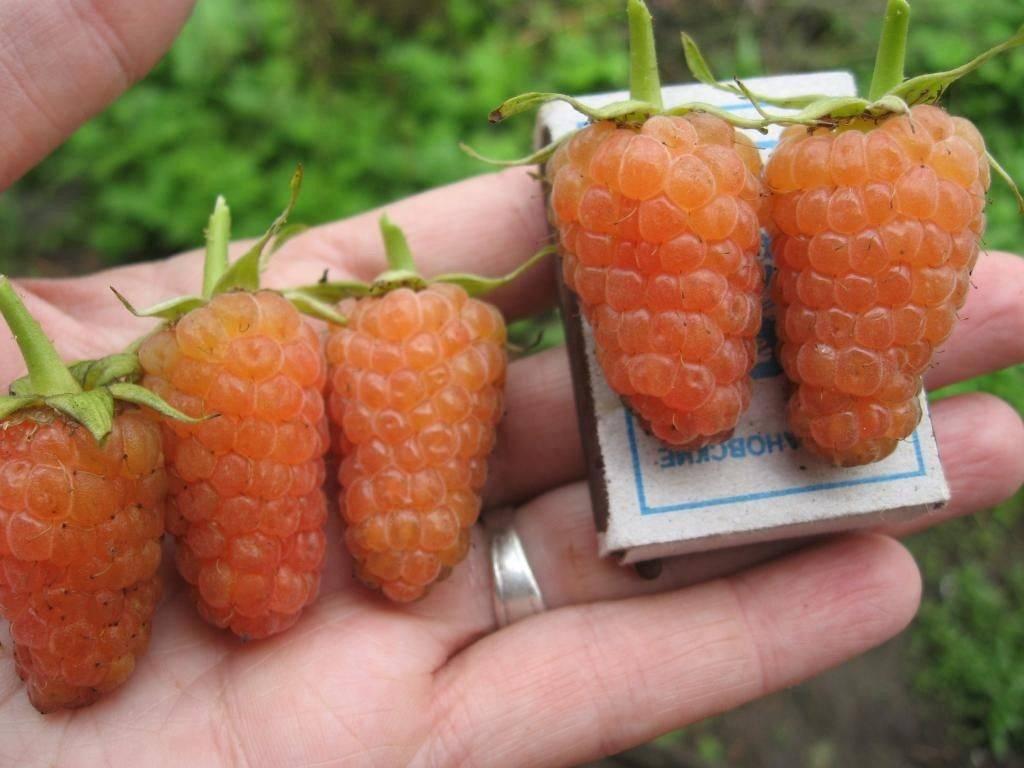 Описание сортов желтой малины, выращивание, уход и способы размножения