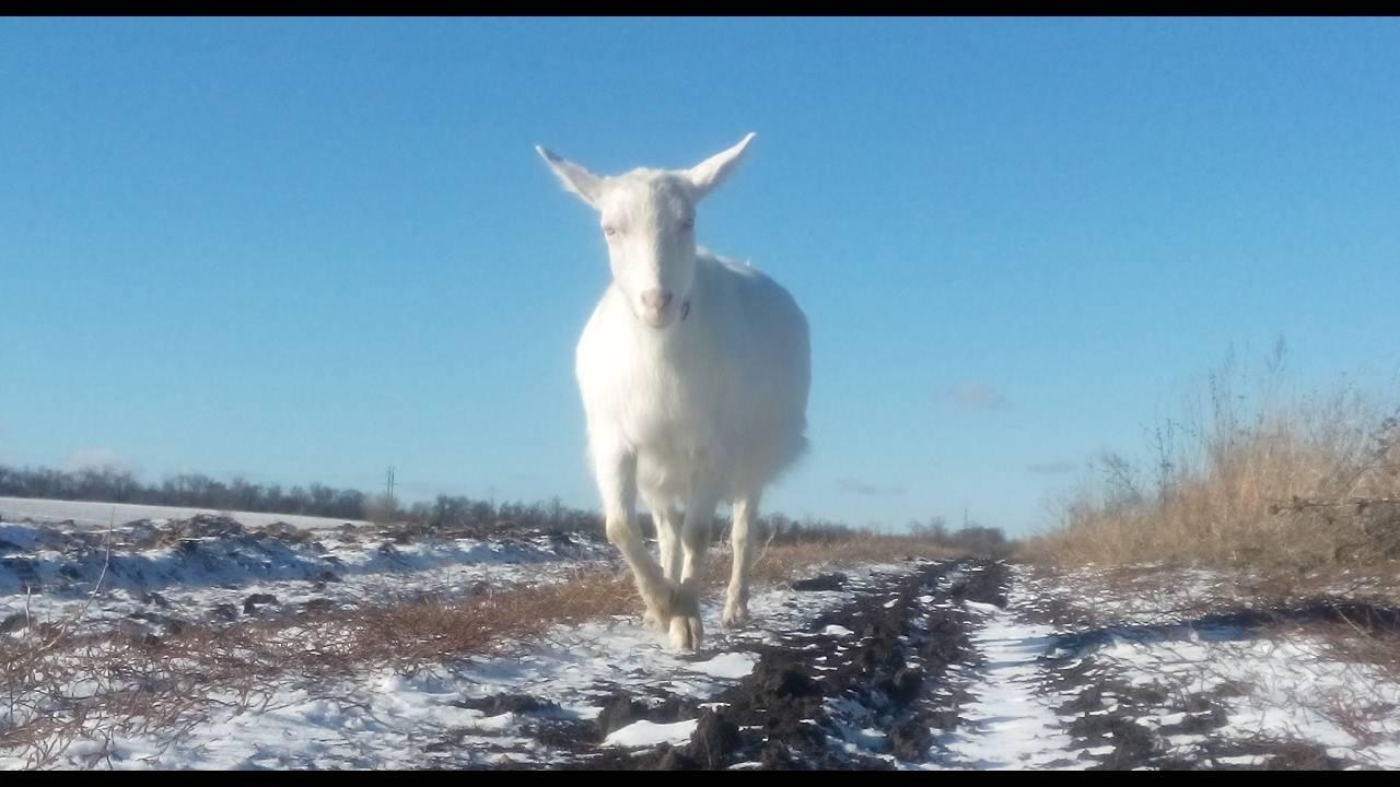 Сколько месяцев ходит беременная коза, календарь и таблица сукозности