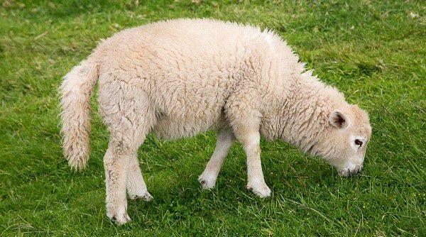 Стрижка овец машинкой видео для начинающих 2019 год