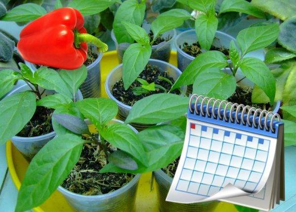 Когда сажать перец на рассаду в 2021 году в сибири