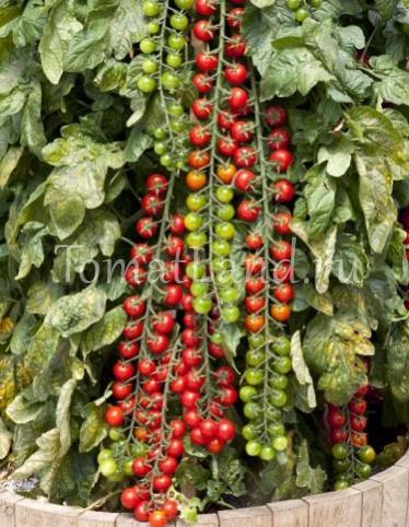 Томаты рапунцель: отзывы, выращивание