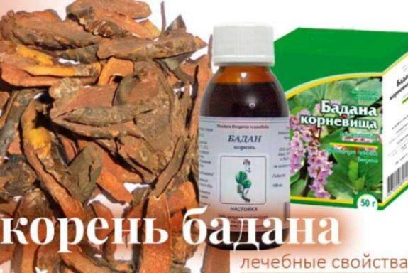Бадан – лечебные свойства и противопоказания