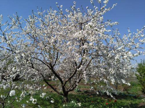 На какой год плодоносит яблоня. на какой год начинает плодоносить яблоня после посадки саженцев