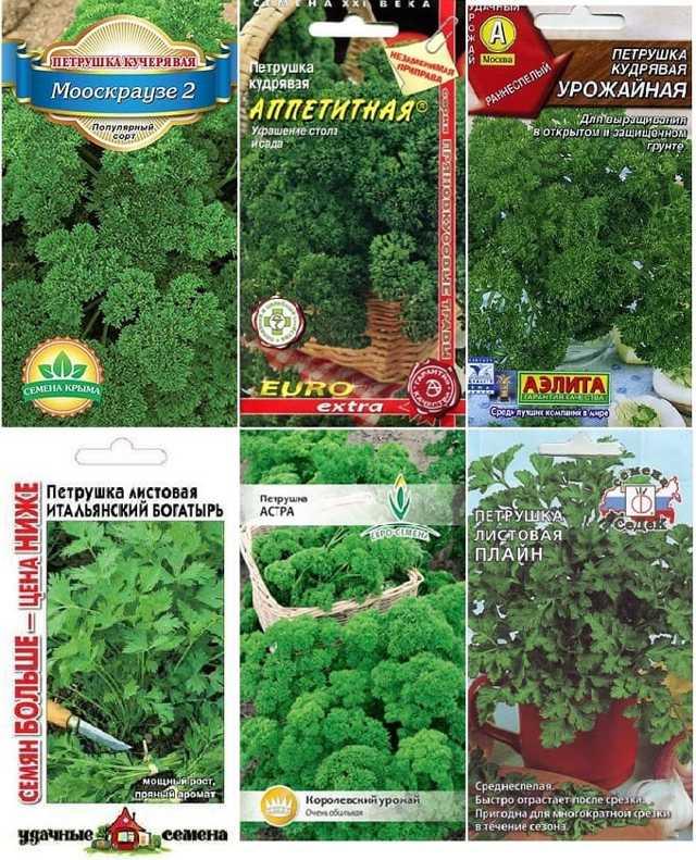 Лучшие сорта петрушки для выращивания