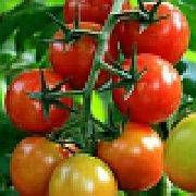 Томат малинка — описание сорта, фото, урожайность и отзывы садоводов
