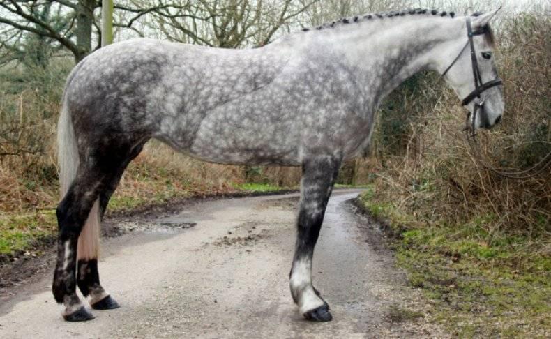 Лошадь-тяжеловоз: виды тяжелоупряжных лошадей, содержание