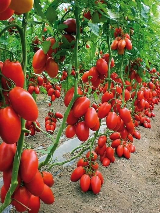 Петруша огородник — томат чревоугодника