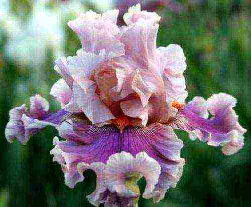 Тонкости цветоводства: семена ириса, как посадочный материал