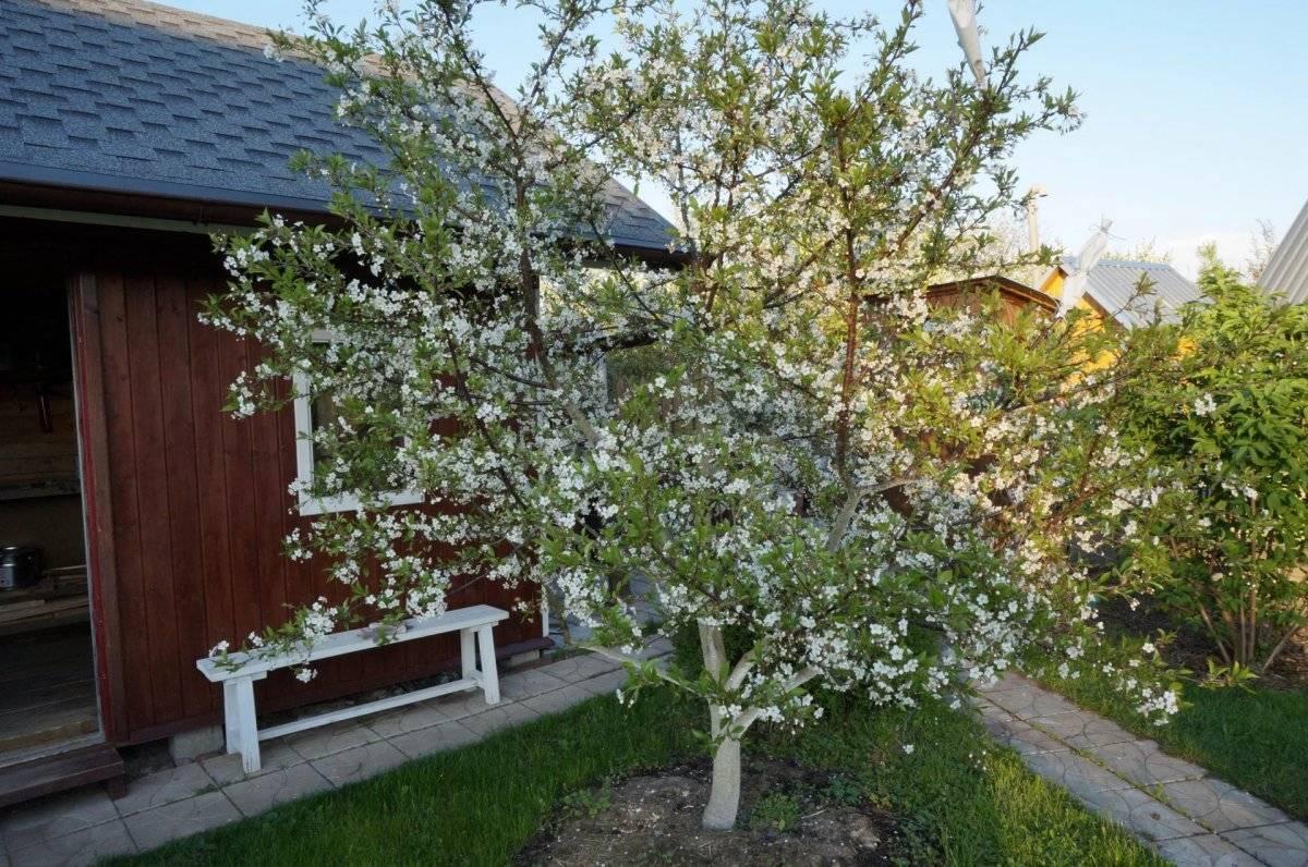 Через сколько лет после посадки плодоносит яблоня. на какой год начинает плодоносить яблоня после посадки саженцев