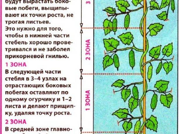 Пасынкование огурцов в теплице: особенности, советы