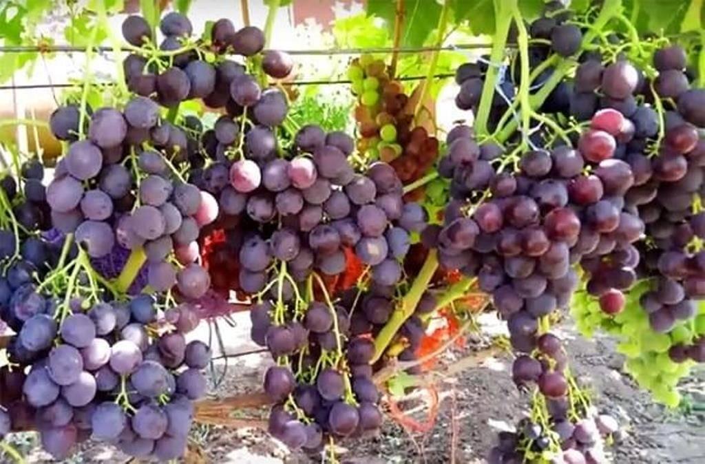 Сорт винограда тимур: описание и уход