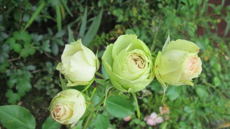 Штамбовая роза: описание и правила выращивания