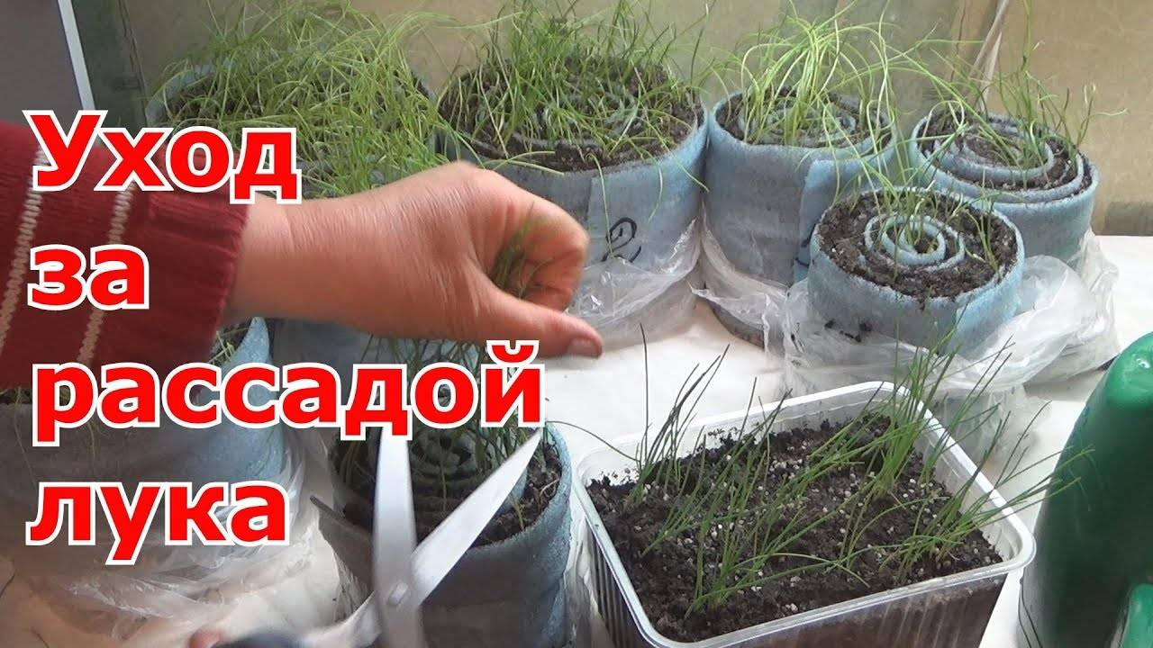 Как вырастить лук из семян за один сезон? лучшие рекомендации и главные советы