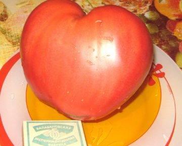 Томат жигало: характеристика и описание сорта, урожайность и отзывы фото кто сажал