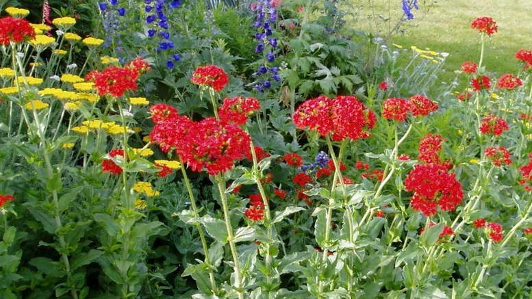 Посадка и уход за цветком лихнис в открытом грунте, описание видов