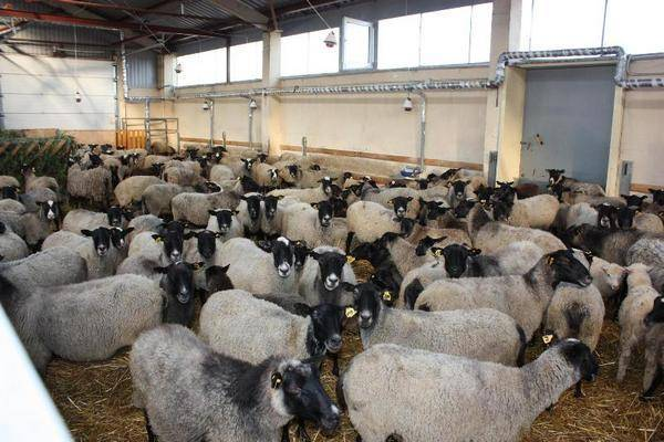Как правильно производить стрижку овец
