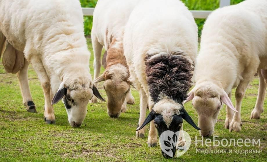 Продуктивность коз: сколько они дают молока и от чего это зависит?