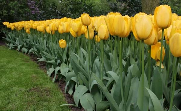 Весенний бал цветов: на «паркете» – тюльпаны махровые!
