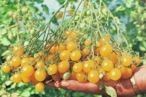 Положительные и отрицательные стороны томата ильди